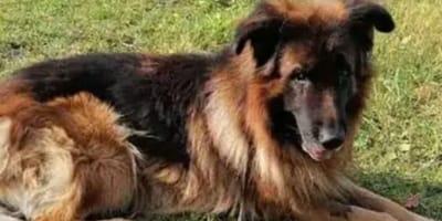 Kiryusha the German Shepherd