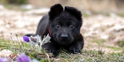 Sie kaufen einen Schäferhund-Welpen für 300$ im Internet: Stunden später weinen alle