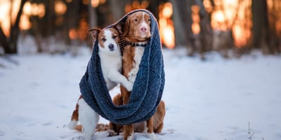 Two dogs in the snow wrapped in a scarf