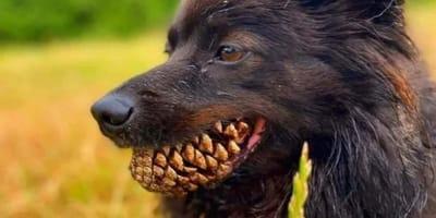 Hund mit Pinienzapfen in der Schnauze.