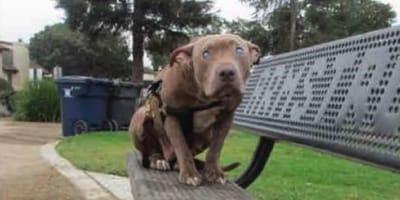 Mujer se queda sin voz cuando descubre por qué este pitbull estaba sentado solo en un banco del parque