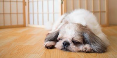 Zapalenie żołądka u psa – przyczyny, objawy i leczenie