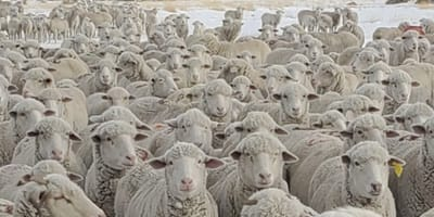 dog in herd of sheep