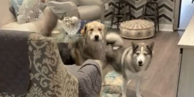 Dogs find univited guest in the living room and react in the most hilarious way