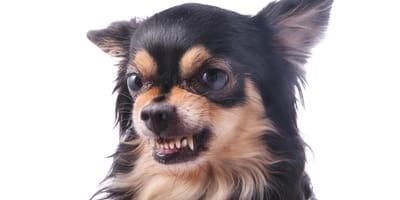¿Los perros pequeños son más agresivos que los grandes?