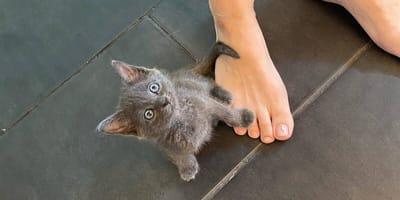 Cudem uratowany kociak nie chce opuścić opiekunki ani na krok (VIDEO)
