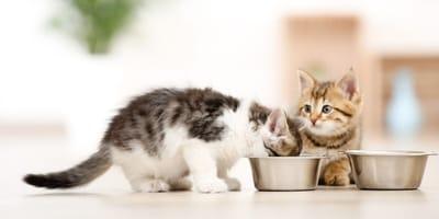 Todo lo que necesitas saber sobre la comida para gatos grain free o sin cereales