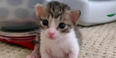 Kociak z dodatkowymi palcami