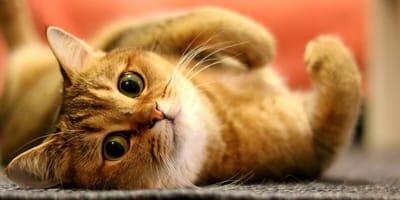 Cuidado con los antibióticos para las heridas infectadas en gatos