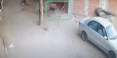 gato protege niño ataque perro