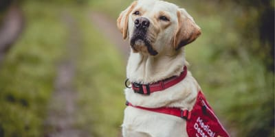 'Reject' guide dogs are put to good use in the fight against Covid-19