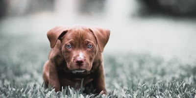 Family buys puppy online for $300 but a few hours later, everyone is in tears