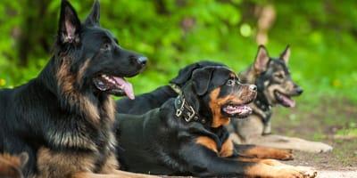 Niemieckie rasy psów - od dobermana do jamnika