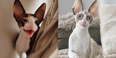 gatos con orejas grandes