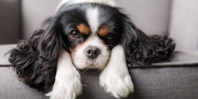 Perro Cavalier King Charles Spaniel: ¿por qué todo el mundo quiere uno?