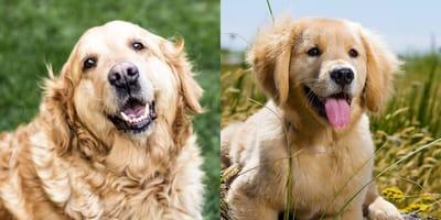 El ingrediente que alargará la vida de tu perro casi dos años