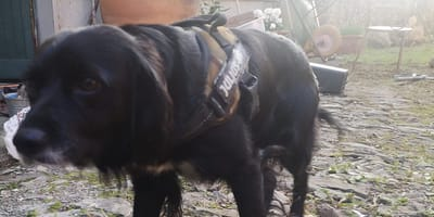 cane-meticcio-nero