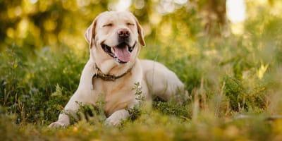 Die 20 schönsten Namen für einen Labrador mit Bedeutung