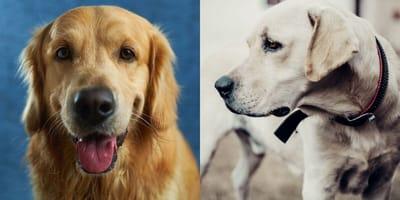Golden Retriever and Labrador