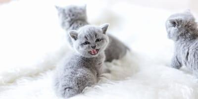 Cómo cuidar de un gato bebé paso a paso