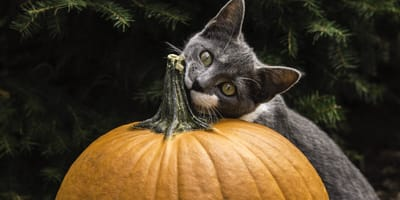 grey and white cat biting pumpkin stem