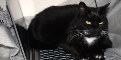 Does your cat love to sit on your laptop? Here's the real reason why
