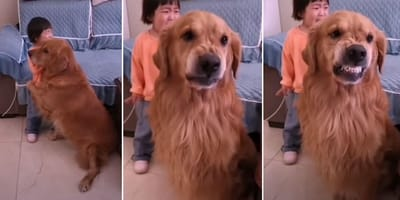 Montage of Harry the Golden Retriever in protective mode