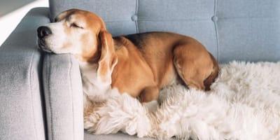 Schlafen statt toben: Diese 10 Rassen sind gemütliche Hunde