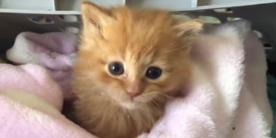 Kitten takes some extreme measures to turn his foster home into a forever home