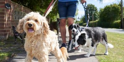 paseador con tres perros