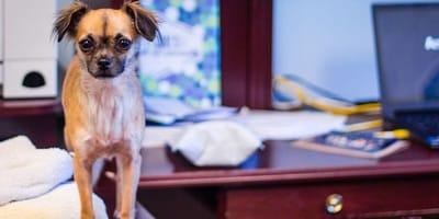 Mały pies siedzi na biurku