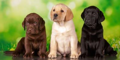 Los nombres para perros labradores más bonitos del mundo: macho y hembra