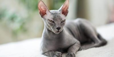 Naaktkatten: ontdek 6 bijzondere haarloze kattenrassen