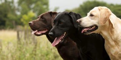 Imię dla labradora – zagraniczne, popularne czy nietuzinkowe?