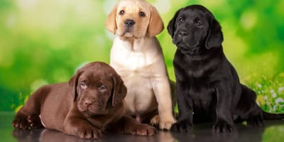 50 original Labrador names with meanings