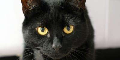 gato negro cara