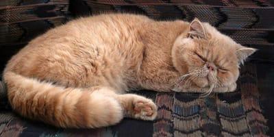 Cos'è l'ernia peritoneo-pericardica del gatto?
