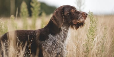 11 Wire haired dog breeds
