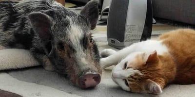Świnka i kociak: sposób, w jaki te dwa zwierzaki okazują sobie miłość Was rozczuli (VIDEO)