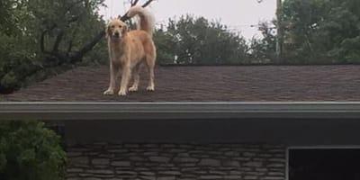 Golden retriever na dachu