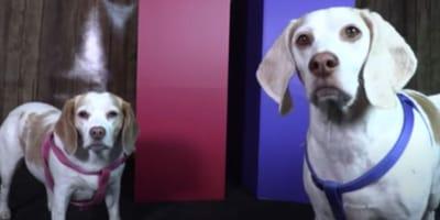 beagles at election polls