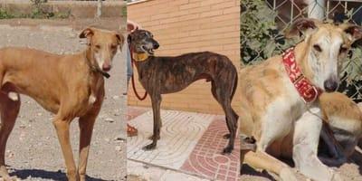 Three Spanish Greyhounds