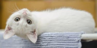 gatito blanco mira tumbado boca abajo