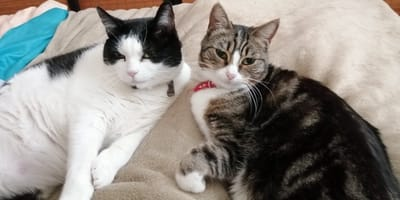 black and white and grey tabby cat snuggle on bed