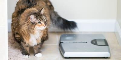 Katze mit Massband und Waage