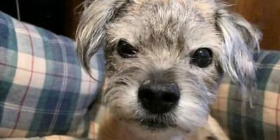 senior border terrier