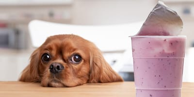 Perro comiendo yogurt