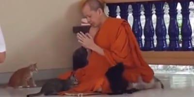 Zmasowany atak puszystości na medytującego mnicha. To video z kociakami jest urocze!