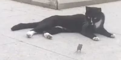 kot leży na chodniku mysz podbiega