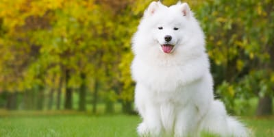 White fluffy poodle